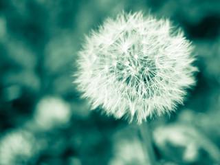 Dandelion - monochrome