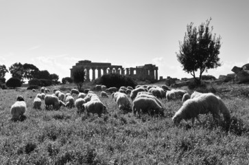 Italy, Sicily, Selinunte, sheep and the greek Hera Temple