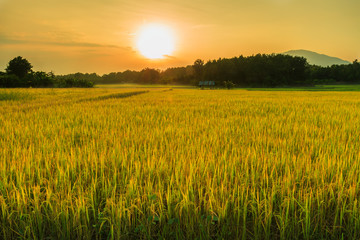 Paddy field with the light
