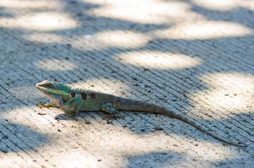 Blue head chameleon
