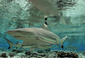 Schwarzspitzen-Riffhaie