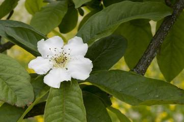 Alte Pflanzen, Weiße Mispelblüte (Asperlblüte)