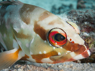 Portrait of a blacktip grouper