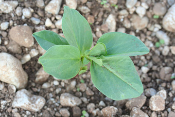 pianta di fave_ orto