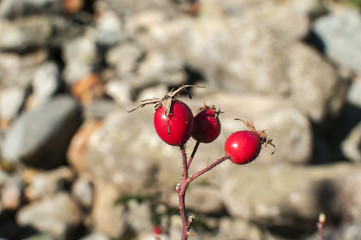 Red rosehips closeup on mountain rocks background