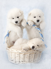 Samoyed puppies with basket