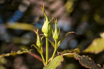Fresh unopened rose bud growing on a bush