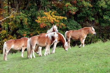 Wilde Pferde auf bergiger Weide im Herbst