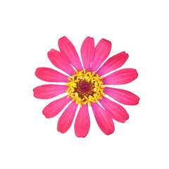 Pink Zinnia Elegans Isolated on White Background