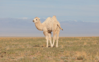 Small white camel