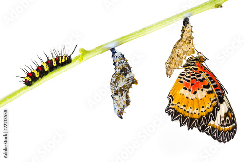 Deurstickers Vlinder Leopard lacewing butterfly life cycle