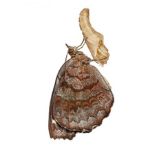 Angled Castor butterfly and cocoon