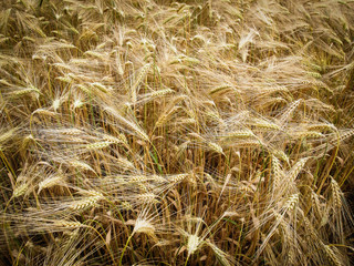 Retro look Barleycorn field