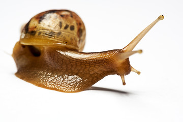 Beauty snail Achatina over white backgrounds, not isolated