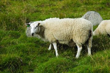 Sheep Lofoten Islands