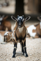 young baby goat standing in fight position