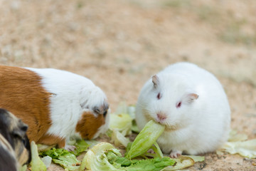 cute wild white rat and hamster eating grass