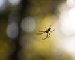 canvas print picture - Spinne im Wald