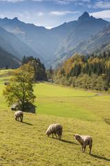 Schafe auf grüner Wiese vor Bergen im Allgäu