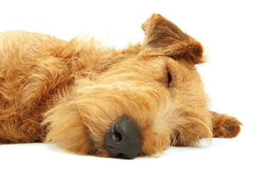 Purebred dog Irish Terrier