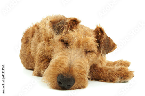 Fotobehang Hond Purebred dog Irish Terrier