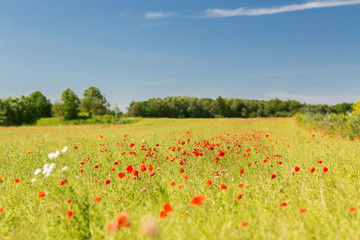 summer blooming poppy field
