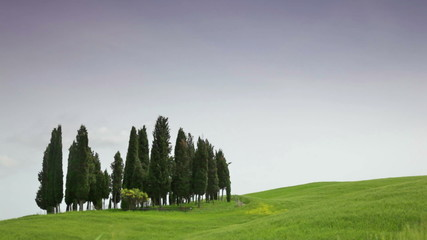 Cypresses in a wheat field, Tuscany, Italy