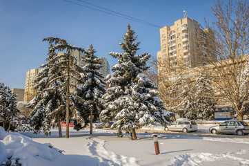 Snow-covered firs trees in city