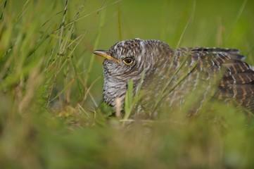 cuckoo nestling in the grass