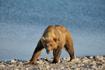 formidable bear on a background of lake