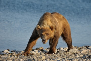 wild bear on the background of the lake