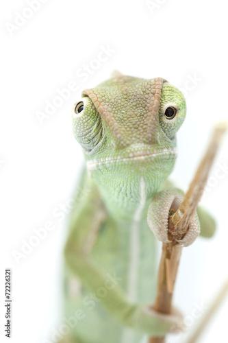 Fotobehang Kameleon Beautiful baby chameleon as exotic pet, narrow focus on eyes