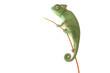 Beautiful baby chameleon as exotic pet, narrow focus on eyes