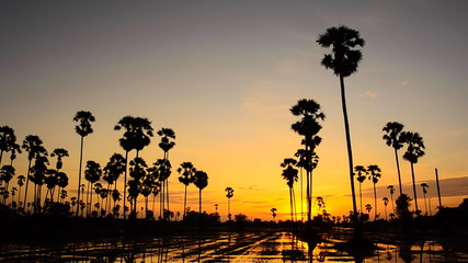 Sugar palm at sunset. Time Lapse