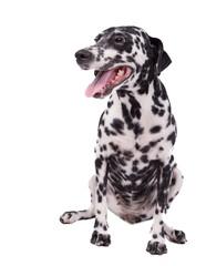 Female Dalmatian Dog or Pet on White Background