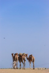 3 Camels in Rajasthan, India.