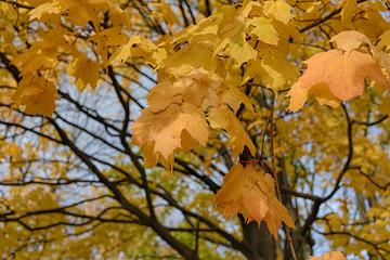 Autumn maple yellow leaves