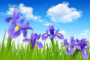 Iris flowers with dewy green grass on blue sky
