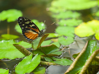 Butterfly on a Leaf in a Garden Pond