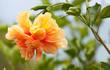 canvas print picture - hibiscus panaché