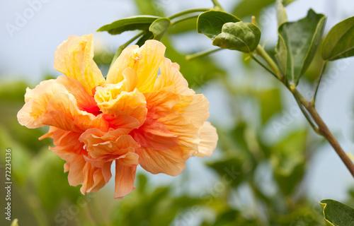canvas print picture hibiscus panaché