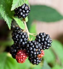 Dewberries on a shrub.