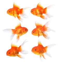 Gold fish isolated on a white background.