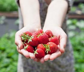Strawberry fruits in a woman's hands.