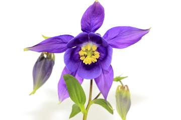 Purple Columbine or Granny's Bonnet