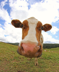cow photographed with a fisheye lens in mountain