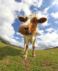 great cow  photographed with a fisheye lens