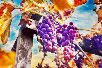 ripe bunch of grapes on wooden pole against blue sky