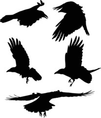 set of five flying crow silhouettes on white