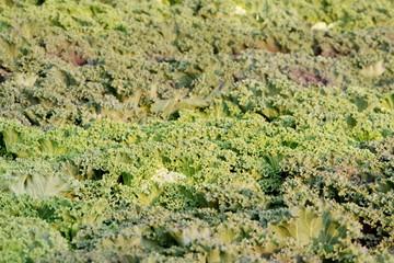 Ornamental cabbage background
